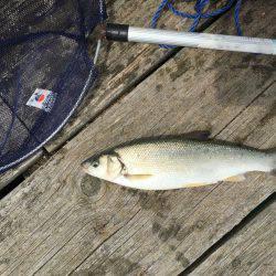 若狭本郷 筏で釣りをする。