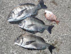 和歌山北港魚つり公園 チヌ、チャリコ