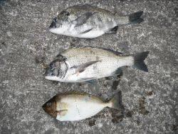 和歌山北港魚つり公園 チヌ、アイゴ