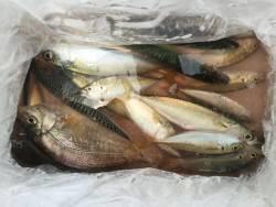 サビキ釣り、サバ、アジ、タナゴ