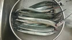 林崎漁港 サヨリ釣行
