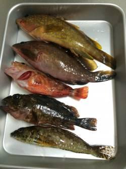日本海ロックフィッシュ釣行(朝の部)