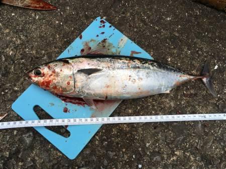 太刀魚など