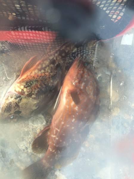 ショアジギングで根魚が釣りたい。