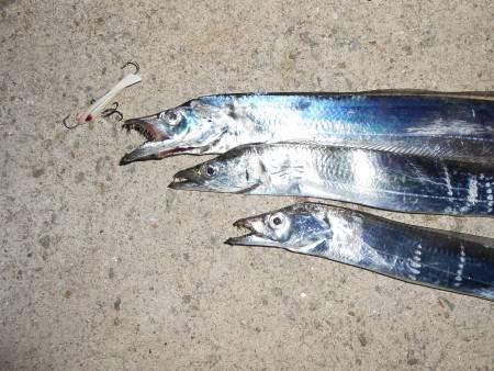 夏太刀魚ゲット〜*\\(^o^)/*