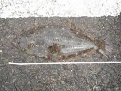 和歌山北港魚つり公園 ヒラメ