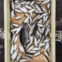 和歌山マリーナシティ海釣り公園 サビキでアジ、ほか