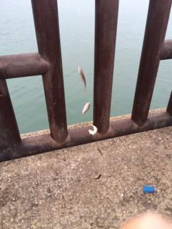 和歌山マリーナシティ海釣り公園 アジ200尾