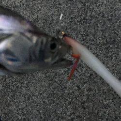 夏タチの数釣り
