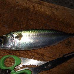 タチウオ釣り、サビキは好調!