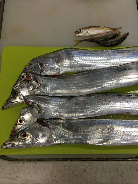 サゴシ&太刀魚パトロール