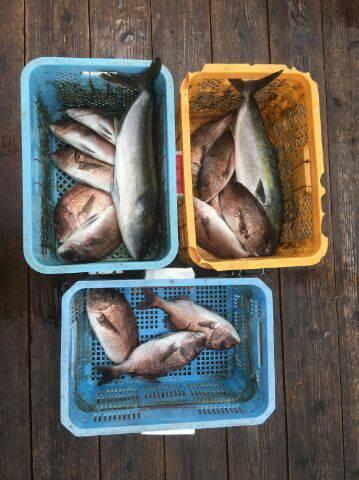 由良海上釣り堀 海人 釣果