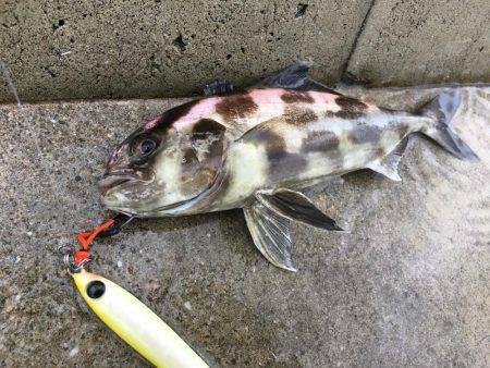 珍魚アイブリ