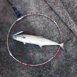 太刀魚不発もサゴシ捕獲