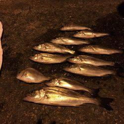 キス釣りのはずがセイゴ爆釣