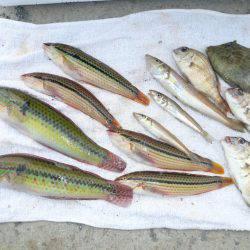 近場の明石港に釣行しました
