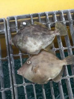 宮津海洋釣り場で良型カワハギ