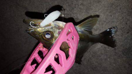 セイゴ釣れてます。