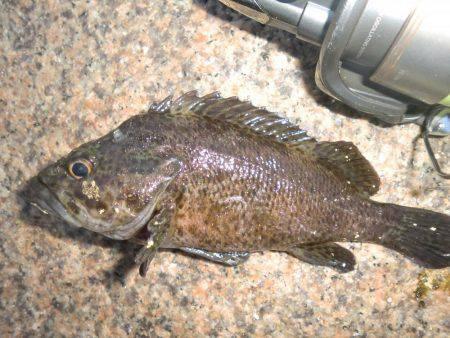 根魚とタコ