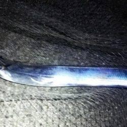 サゴシ釣れました(^^)