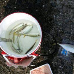 アジ、太刀魚GET!!