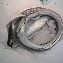 タチウオ浮き釣り