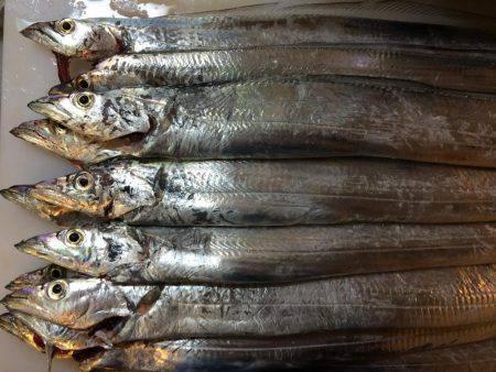 安定の太刀魚とサゴシ
