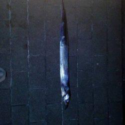 コスモスクエアで太刀魚
