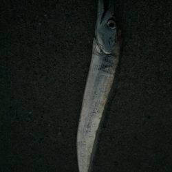 太刀魚 ワインド