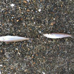 播磨新島で投げ釣り