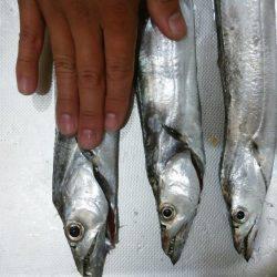 青岸 太刀魚