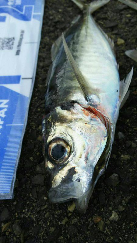 サビキ釣りにてアジ・サバ・イワシ
