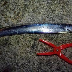 神戸港太刀魚