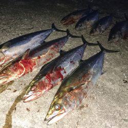 サゴシ爆釣
