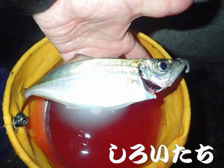 チヌ、タチウオ、ツバス長時間の釣り。
