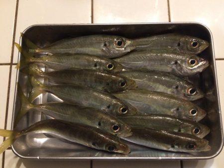 またチビ太刀魚