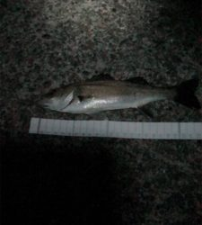 シーバスをエサ釣りで釣ろう!