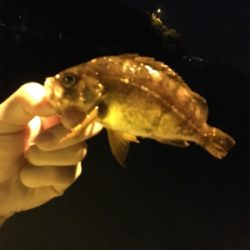 ぼちぼちメバル釣り