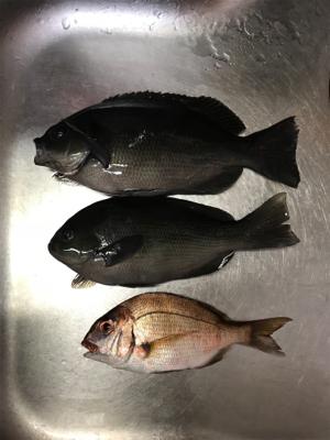 フカセ釣り サバとグレ