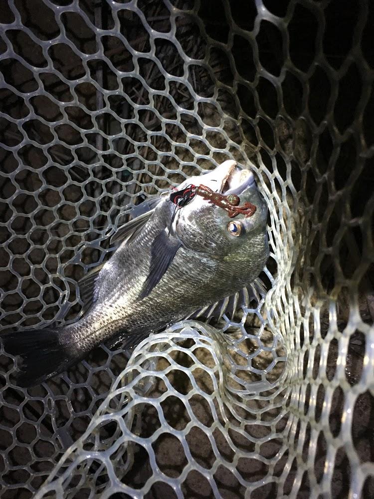 チヌジグ6gにジャッカルベビードラゴンで釣れたマチヌ