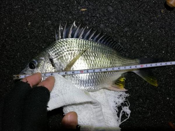 雨天後の南港フェリーヘチ釣り (小キビレ、小ガシラ、小シーバス釣果有り)