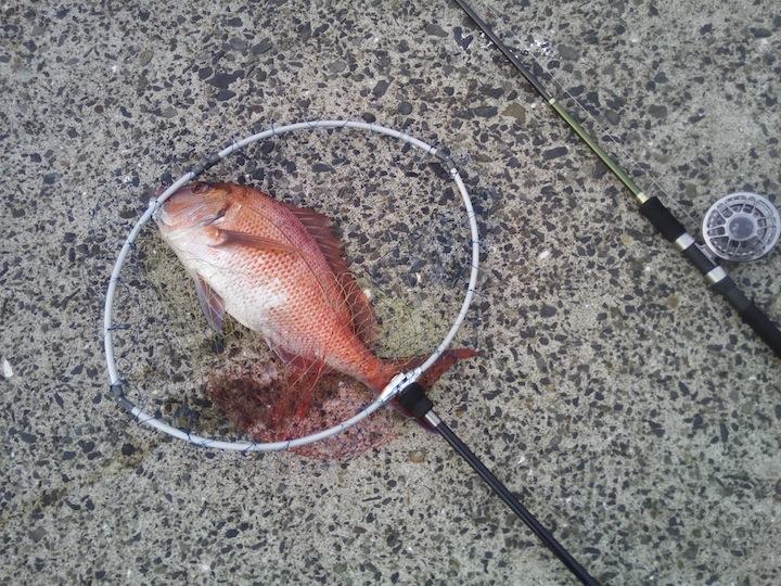 ヘチ釣りでマダイも狙える