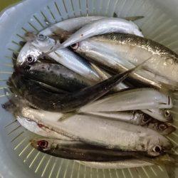 津田でサビキ釣り