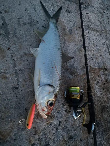 今季初、古代魚ターポン