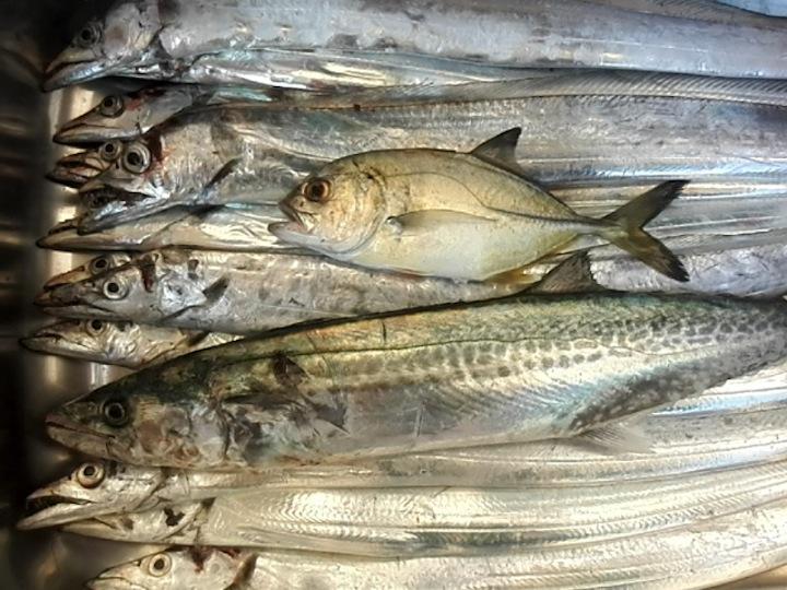 2015.10.22 答島港 サゴシ53cmメッキ タチウオ