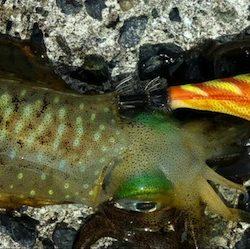 秋のエギング 食欲旺盛なアオリイカには持ってこいのエギです。がまかつ LUXXE(ラグゼ)エヴォリッジ エギングレポート