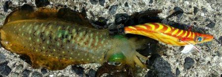 秋の食欲旺盛なアオリイカには持ってこいのエギです LUXXEエヴォリッジ エギングレポート