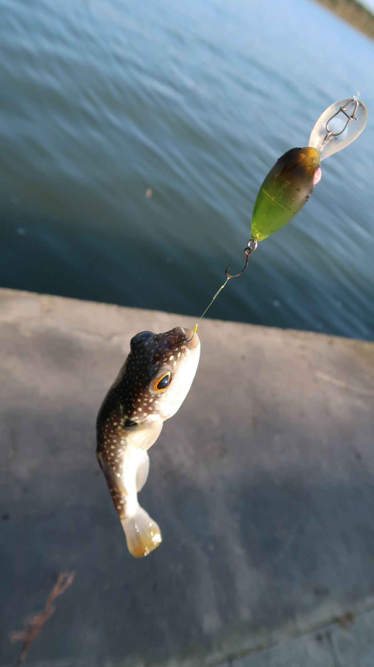 ハゼクラ〜釣って楽しい食べて美味しいハゼをクランクで狙う