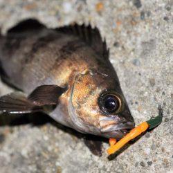 富浦新港にてメバル釣り