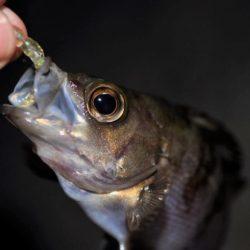 【大メバルが釣れたった!!】鹿島灘漁港でシーバス、メバル釣り